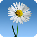 Lovely Daisies Live Wallpaper - ����� ���� � ���������